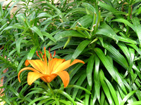 single asiatic lily